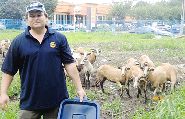 Photo by PNG. Sandy Chappell with his sheep on a commercial plot near Downtown Richmond in September, 2013.